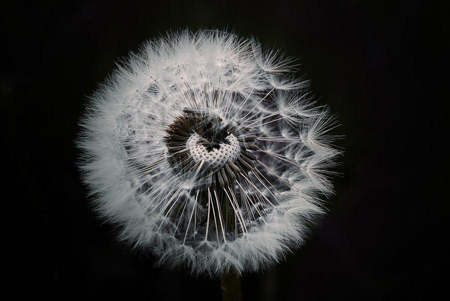 dandelion-1329776_1280